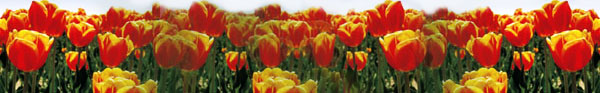 banner tulip field
